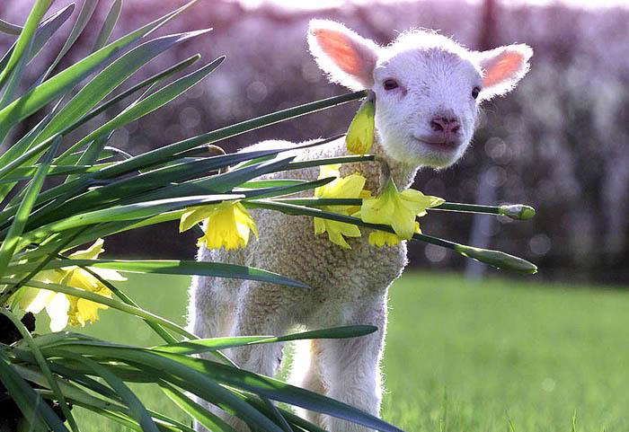 lamb-21