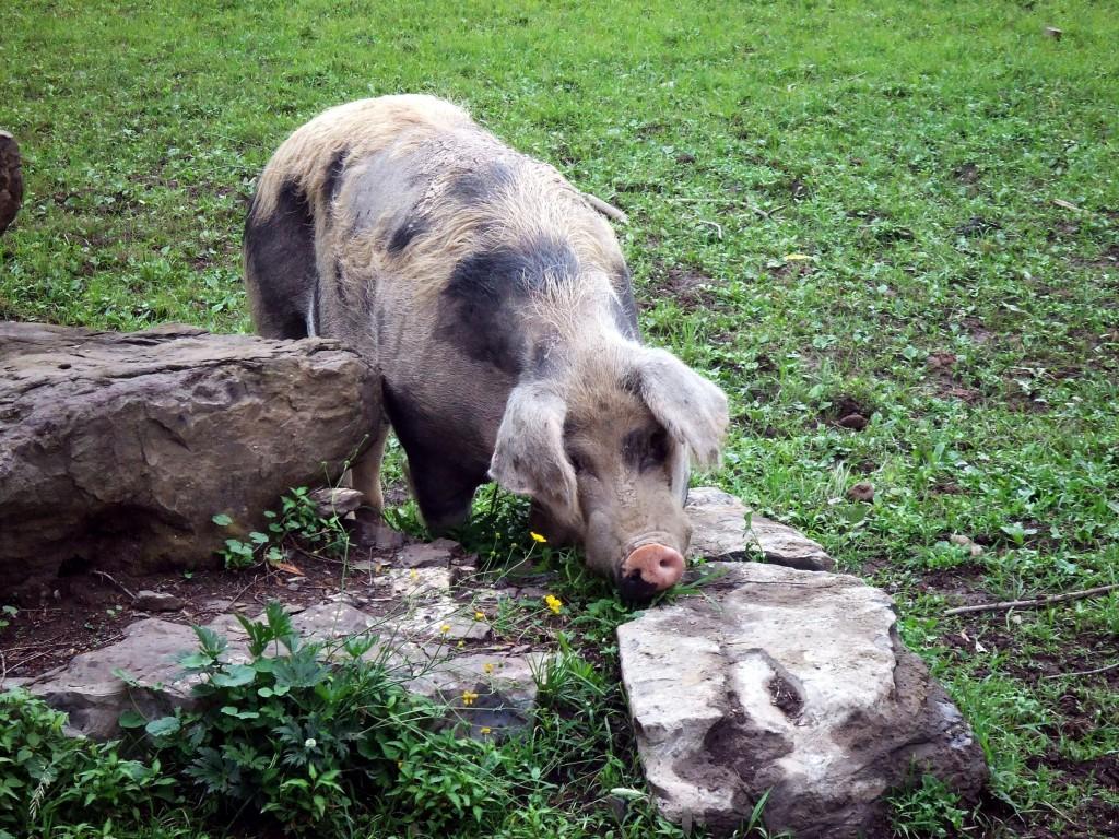 cas pig 2