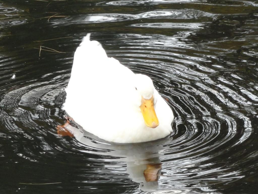 ברווזים חלצו (3)